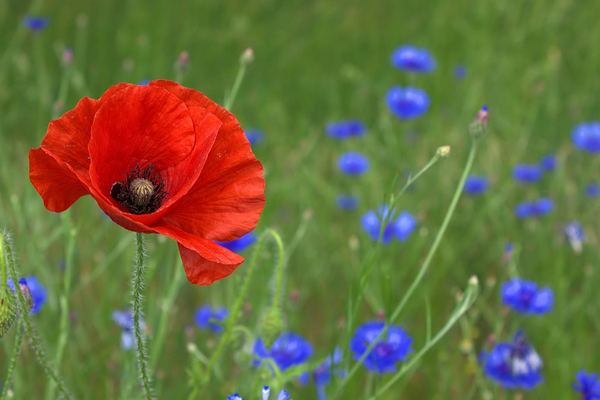 poppy_flower_nature.jpg